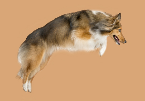 Sprung Collie